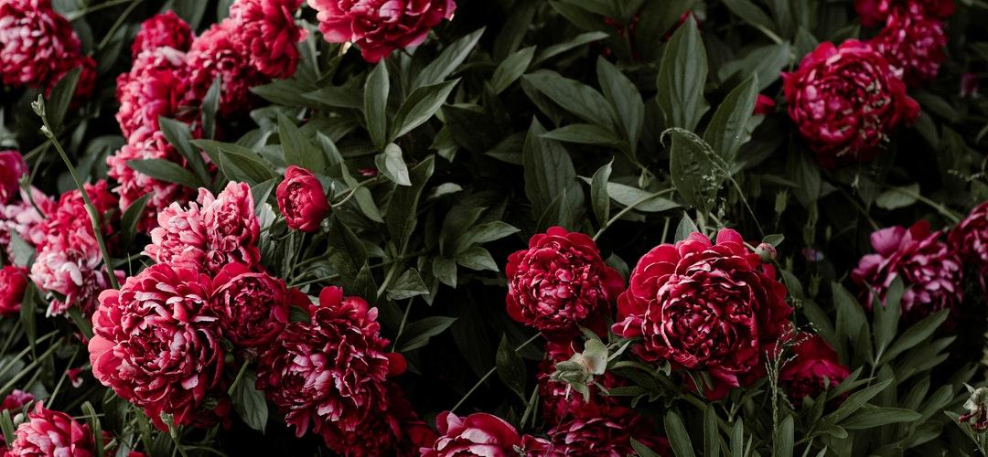 Bunga Ruellia tanaman hias yang kaya Manfaat