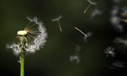 Filosofi Dari Bunga Dandelion